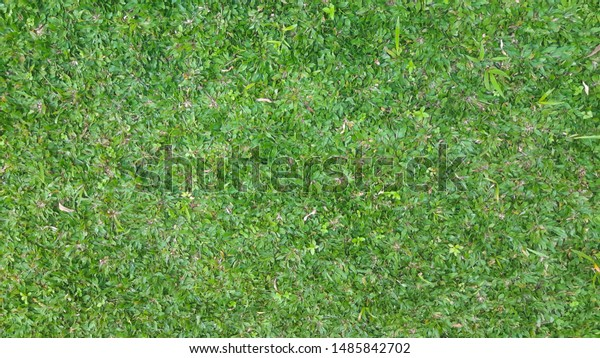 rumput gajah mini green grass elephant stock photo edit now 1485842702 https www shutterstock com image photo rumput gajah mini green grass elephant 1485842702