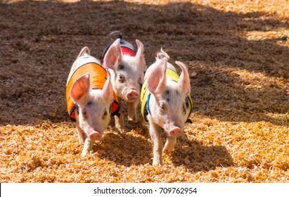 Run, Little Pigs, Run