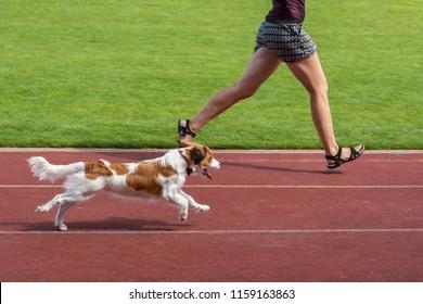 Runing Welsh Springer Spaniel.