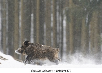 Runing Wild boar (Sus scrofa) at Snowfall, Germany, Europe