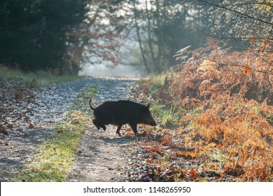 Runing Wild Boar (Sus scrofa), Autumn, Germany, Europe