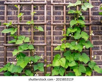 Runner bean plants climbing on a wooden trellis