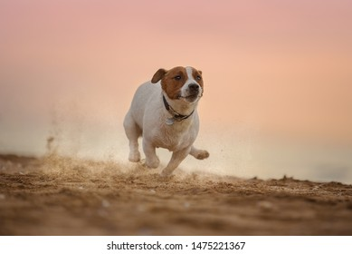 Runnig Jack Russell Terrier on the beach at sunset of the day