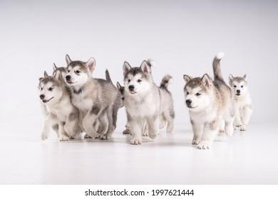 Running Alaskan malamute puppies in studio