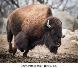 Running American Bison