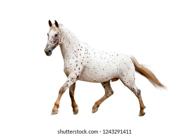 running appaloosa horse isolated on white background