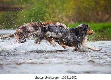 running Australian Shepherd dogs in a river