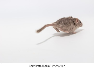 Running away out of focus Mongolian gerbil on white background
