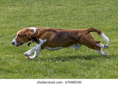 Running basset hound running at off leash dog park in suburban Denver, Colorado.
