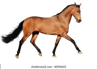 Running bay horse, isolated