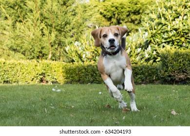 running beagle in a garden