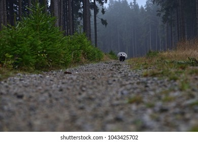 Running beautiful European badger (Meles meles - Eurasian badger) in his natural environment in the autumn forest and country