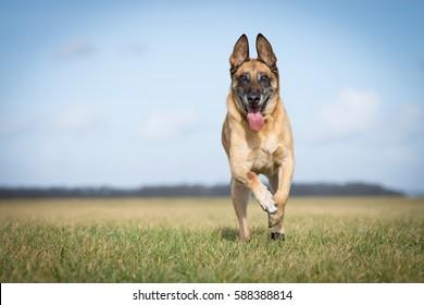 Running Belgian Shepherd dog