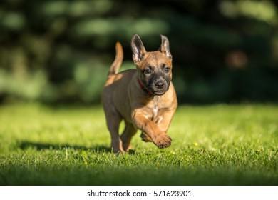 Running Belgian shepherd malinois puppy   - Shutterstock ID 571623901