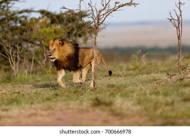 Running big Lion Lipstick scares younger lions out of his territory in Masai Mara, Kenya