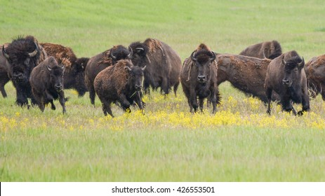 running bison herd