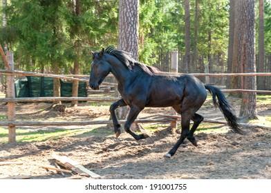 running black horse on the farm
