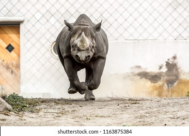 Running black rhinoceros (hook-lipped rhinoceros)
