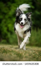 Running border collie dog in nature background