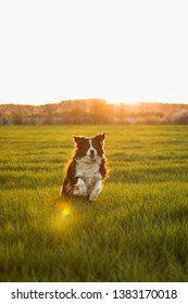 the running border collie on a field full of grass