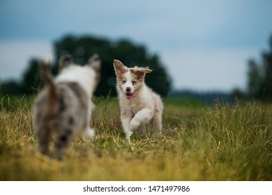 Running border collie puppies on a lane with nature background