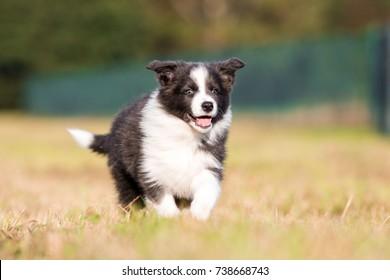 Running border collie puppy