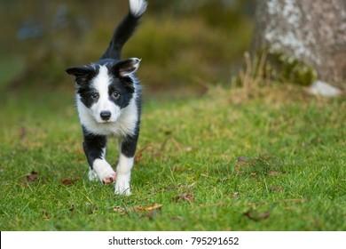 Running border collie puppy in nature