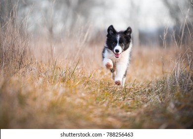 Running border collie puppy in winter time