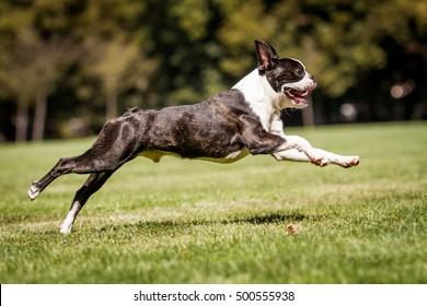 Running boston terrier, running dog