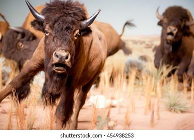 Running buffalo in grasslands.