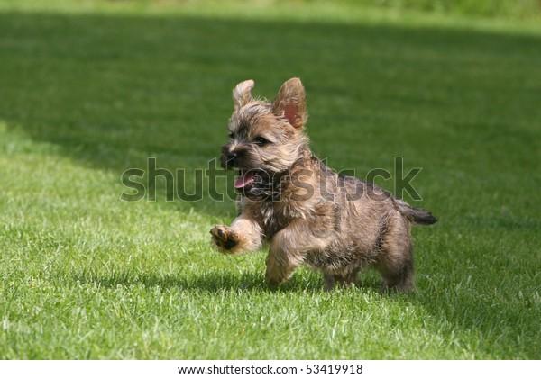 Running Cairn Terrier Puppy Stock Photo (Edit Now) 53419918