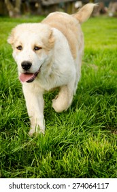 Running Central Asian Shepherd Puppy in a park