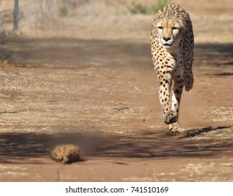 Running cheetah, exercising with a lure