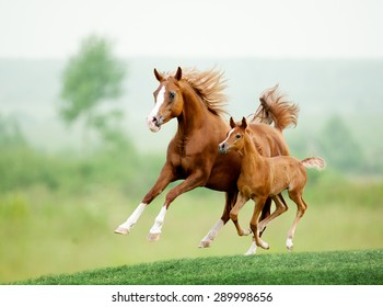 Running chestnut horse in meadow. Summer day
