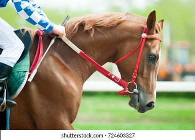 running chestnut race horse portrait closeup