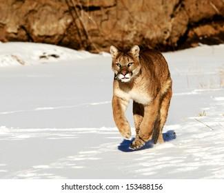 Running cougar