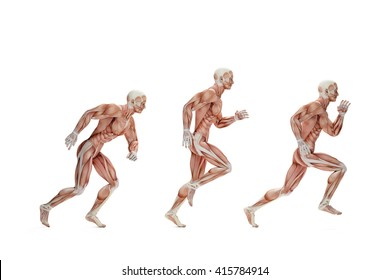 Running cycle. Anatomical illustration. Isolated over white. Contains clipping path