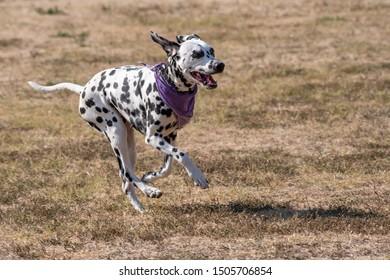 Running Dalmatian dog outdoors in spring. Selective focus