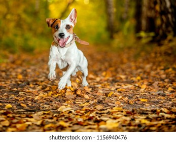 Running dog at autumn. Jumping fun and happy pet walking outdoors.