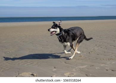 running dog at the beach