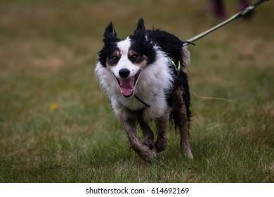 running dog canicross