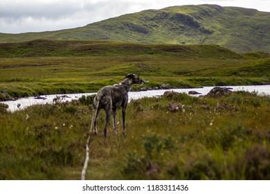 Running dog canicross wils scottish mountain outdoors