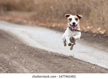 Running dog at fall. Jumping fun and happy pet walking outdoors.