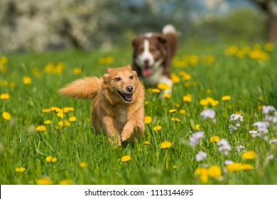 Running dogs in a spring flower meadow