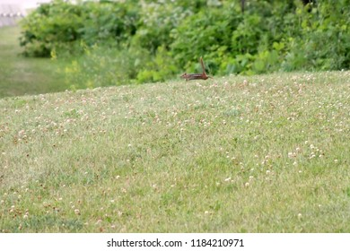 Running fast, jumping in the air, chipmunk field of clover copy space