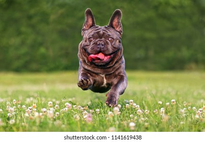 Running french bulldog