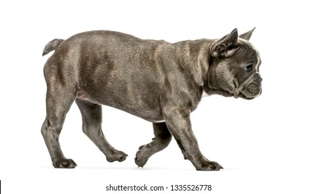 running French Bulldog, 3 months old, in front of white background