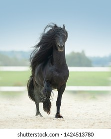 running friesian horse with long mane
