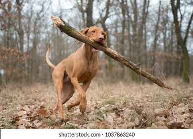 Running funny hunter dog with big branch