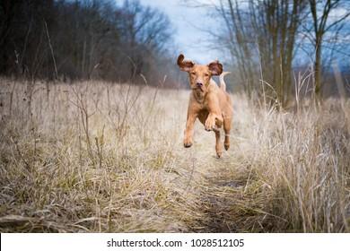 Running funny hunter dog in winter field